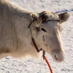 Racing reindeer pose. Image: Aarre Jortikka.