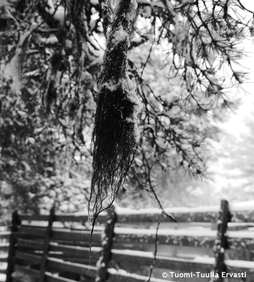 Beard lichen, the spring delicacy of reindeer, hanging from trees. Image: Tuomi-Tuulia Ervasti.