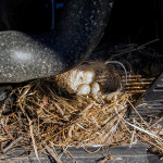 The wagtail has nested in the tractor engine and used reindeer fur for insulation. Image: Aarre Jortikka.