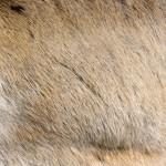 Dense reindeer fur. Image: Aarre Jortikka.