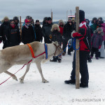 Ote - The champion reindeer 2015 - Image. Anne Ollila.